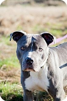 American Pit Bull Terrier Mix Dog for Sale in Silverdale, Washington - LEO