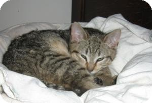 Domestic Shorthair Kitten for Sale in Manhattan, New York - MONDAY