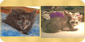 Domestic Mediumhair Kitten for Sale in Scottsdale, Arizona - Paisley