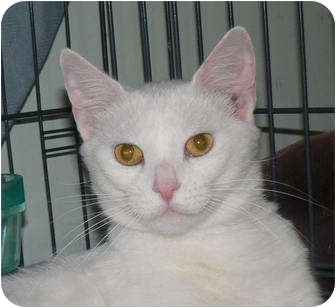 Polydactyl/Hemingway Cat for adoption in Stafford, Virginia - Precious