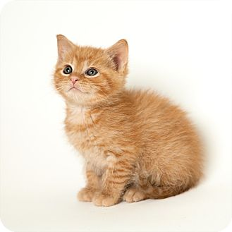 Domestic Shorthair Kitten for Sale in Rockaway, New Jersey - Punkin