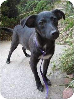 Italian Greyhound/Chihuahua Mix Dog for adption in Van Nuys, California - Buster