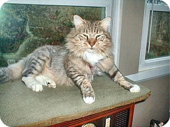 Maine Coon Cat for Sale in Chattanooga, Tennessee - Boots