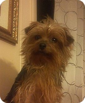 Yorkie, Yorkshire Terrier Dog for Sale in Hazard, Kentucky - Trixie