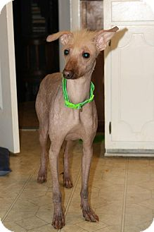 Xoloitzcuintle/Mexican Hairless Mix Dog for Sale in Niagra Falls, New York - Athena