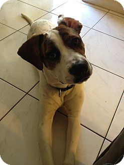 Pointer/Boxer Mix Dog for Sale in hollywood, Florida - dixie