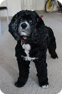 Cocker Spaniel Dog for Sale in Gainesville, Florida - Sassy