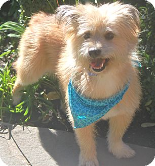 Cairn Terrier Mix Dog for adption in Norwalk, Connecticut - Dawson