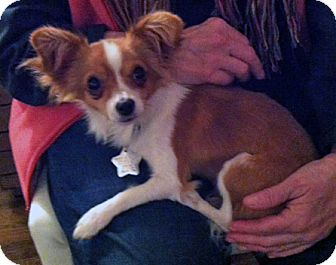 Papillon/Chihuahua Mix Dog for Sale in Studio City, California - Bobby