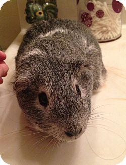 Guinea Pig for Sale in Costa Mesa, California - Seiko