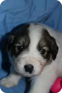 Great Pyrenees Mix Puppy for Sale in Stilwell, Oklahoma - Scout