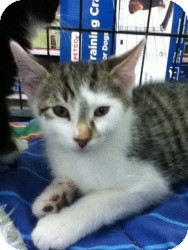 Domestic Shorthair Kitten for Sale in Riverside, Rhode Island - Ryan