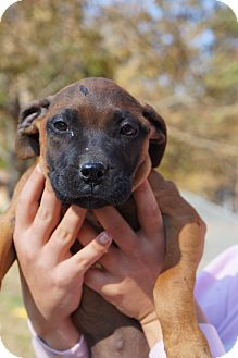 Mastiff/Bullmastiff Mix Puppy for Sale in cumberland, Rhode Island - Minnie