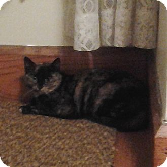 Calico Kitten for Sale in sterling, Massachusetts - Cally
