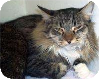 Domestic Longhair Cat for adoption in Mesa, Arizona - Handsome
