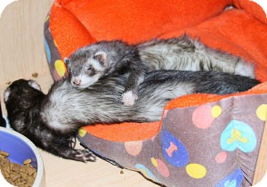 Ferret for Sale in Buxton, Maine - Bean