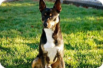 Basenji Mix Dog for Sale in Boise, Idaho - Mal