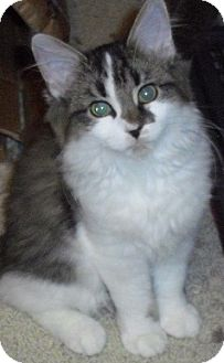 Domestic Longhair Kitten for Sale in Fairborn, Ohio - Chantilly-Lexington Litter