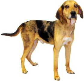 Catahoula Leopard Dog/Hound (Unknown Type) Mix Dog for Sale in Inverness, Florida - Huck