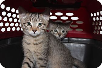 Abyssinian Kitten for Sale in santa monica, California - Sandy