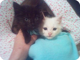 Domestic Longhair Kitten for Sale in Harrisburg, North Carolina - Peepers and Jeepers