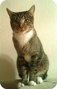 Domestic Shorthair Cat for Sale in Colorado Springs, Colorado - Missy