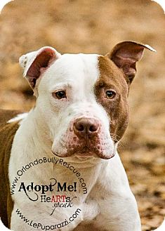 American Pit Bull Terrier Mix Dog for adption in Orlando, Florida - Milo