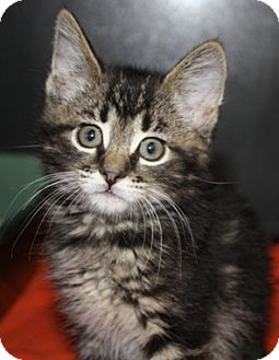 Domestic Mediumhair Kitten for Sale in North Highlands, California - Apache