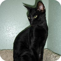 Domestic Shorthair Cat for adoption in Round Rock, Texas - Rickie