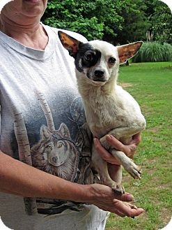 Chihuahua Dog for adption in Rocky Hill, Connecticut - Skeeder