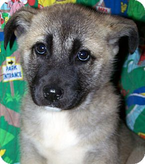 Labrador Retriever/Shepherd (Unknown Type) Mix Puppy for Sale in Sherman, Connecticut - Lillian Betty's Dog