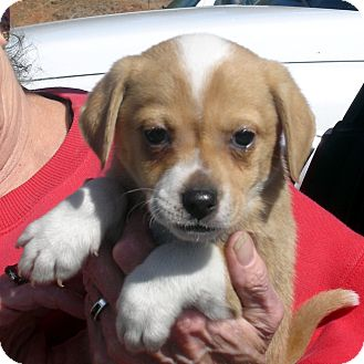 Beagle/Spaniel (Unknown Type) Mix Puppy for Sale in hagerstown, Maryland - Twerp