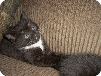 Domestic Shorthair Kitten for Sale in Horsham, Pennsylvania - Kiki