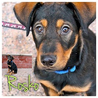 Doberman Pinscher/Labrador Retriever Mix Puppy for Sale in Westland, Michigan - Rosko