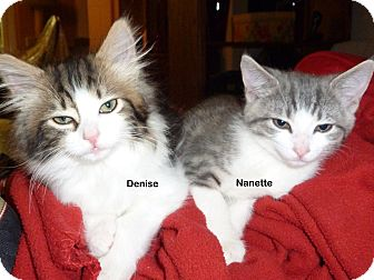 Domestic Shorthair Kitten for Sale in Portland, Oregon - Nanette