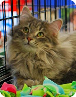 Domestic Longhair Kitten for Sale in Merrifield, Virginia - Henry