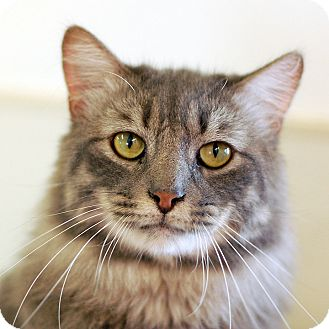 Domestic Mediumhair Cat for adoption in El Cajon, California - Randy