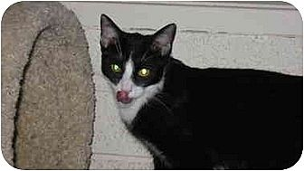Domestic Shorthair Cat for adoption in Tempe, Arizona - Timothy