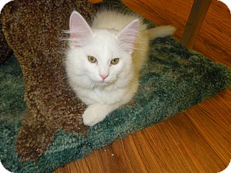 Domestic Mediumhair Kitten for Sale in Medina, Ohio - Pawnee