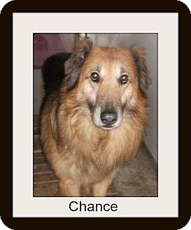 Collie/Shepherd (Unknown Type) Mix Dog for adption in Clinton, Ontario - Chance