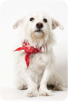 Westie, West Highland White Terrier Mix Dog for Sale in New York, New York - Tallulah