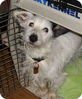 Terrier (Unknown Type, Small) Mix Dog for adption in Sheridan, Oregon - Sir Hairy Paws