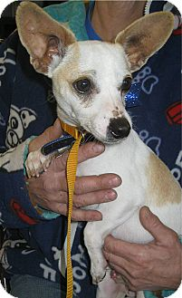 Chihuahua/Terrier (Unknown Type, Small) Mix Dog for adption in Chandler, Arizona - Squeekers