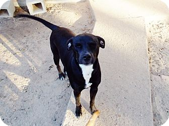 Labrador Retriever/Rat Terrier Mix Dog for adption in Silsbee TX, Texas - Callie