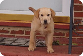 Labrador Retriever Puppy for Sale in Bedford, Virginia - Winnie Pooh