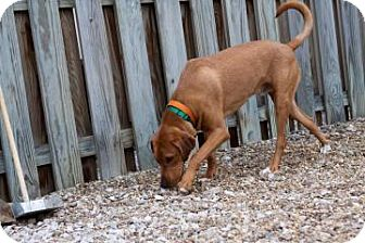 Coonhound Mix Dog for Sale in Novelty, Ohio - Trigger