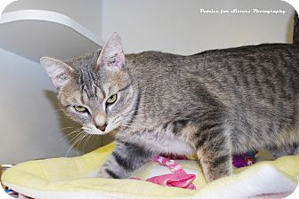 Domestic Shorthair Cat for adoption in Lincoln, Nebraska - Critter