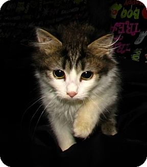 Domestic Mediumhair Cat for Sale in Oxford, New York - Minnie