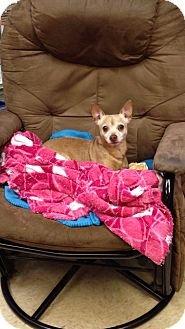 Chihuahua Mix Dog for Sale in Bluff city, Tennessee - WOODY