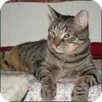 Domestic Shorthair Cat for adoption in Round Rock, Texas - Sammy